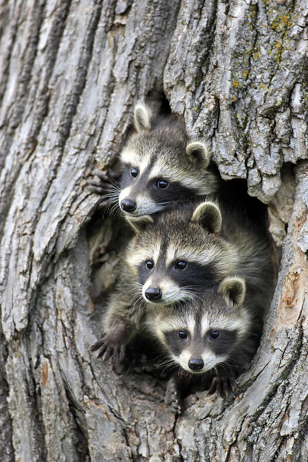 Raccoon Trio At Den Minnesota Photograph by Jurgen and Christine Sohns