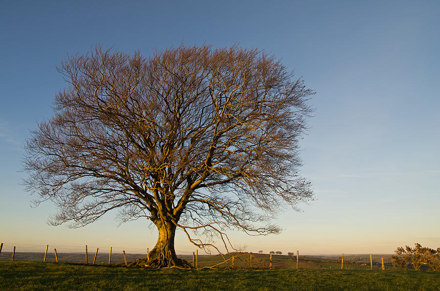 Raddon Photograph - Raddon Hill Top Tree by Pete Hemington