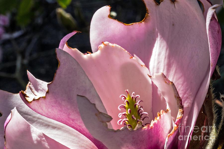 Botanical Garden Photograph - Ragged Magnolia by Kate Brown