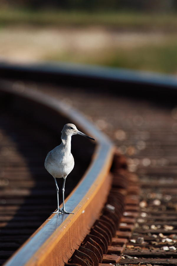 Willet Photograph - Railroaded Willet  by Andrew McInnes