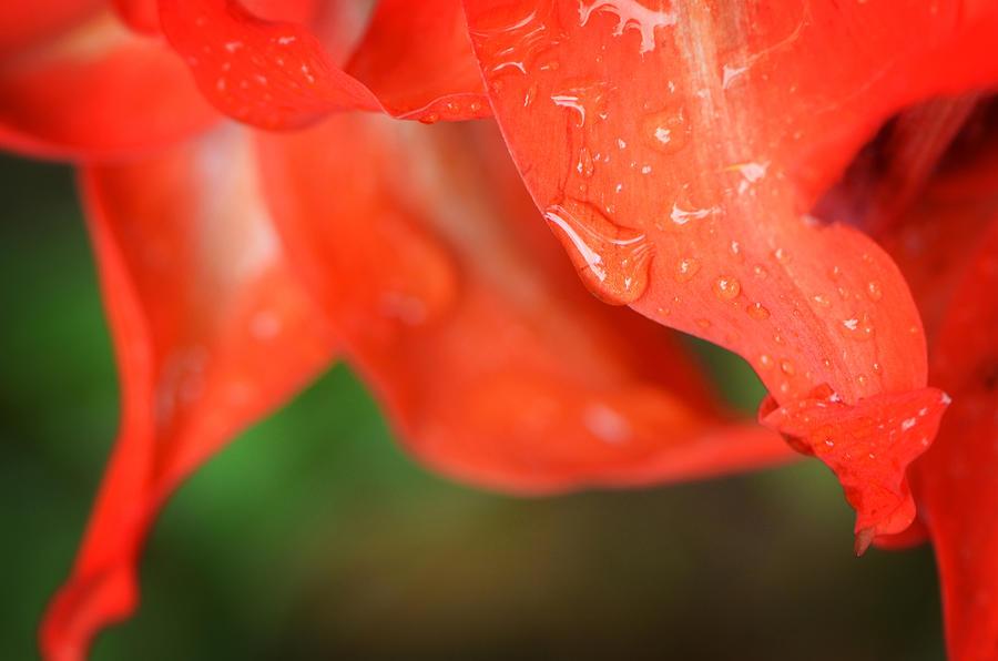 Rain Photograph - Rain Dance - Red Flower Photography By Sharon Cummings by Sharon Cummings