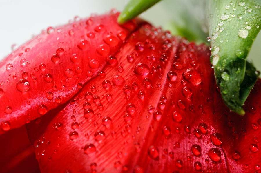Flower Photograph - Rain Drops by Ivelin Donchev