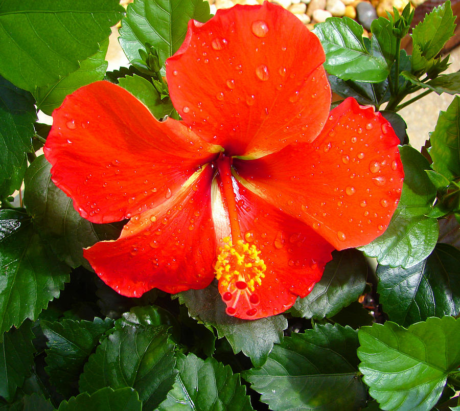 Landscape Photograph - Rain Kissed Hibiscus Beauty by Ella Char