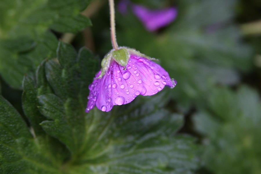 Geranium Pyrography - Rain Kissed by Lynn-Marie Gildersleeve