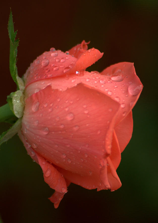 Rose Photograph - Rain Kissed Rose by Jen T