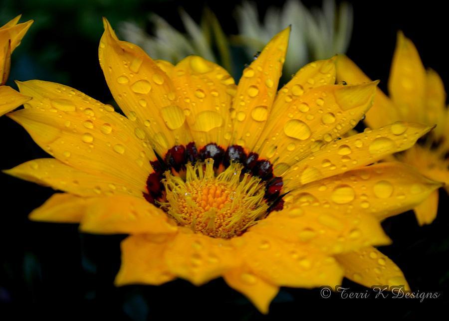 Daisy Photograph - Rain Petals by Terri K Designs