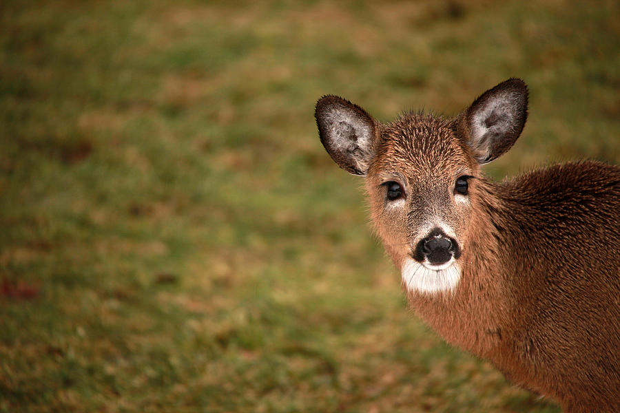 Deer Photograph - Rain Soaked by Karol Livote