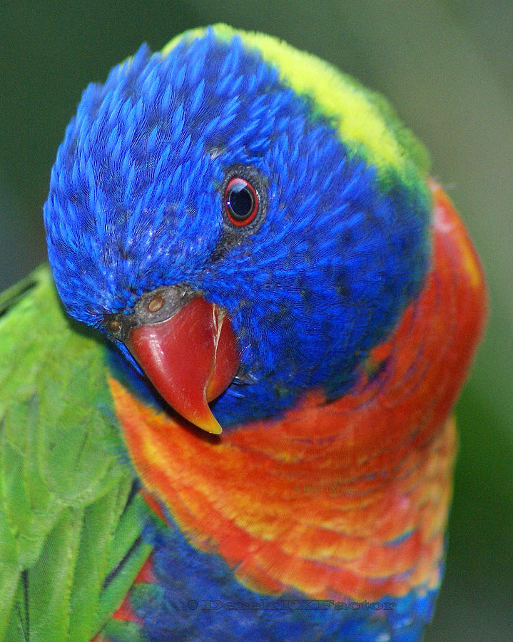 Rainbow Bird - Lorikeet Photograph by DerekTXFactor Creative