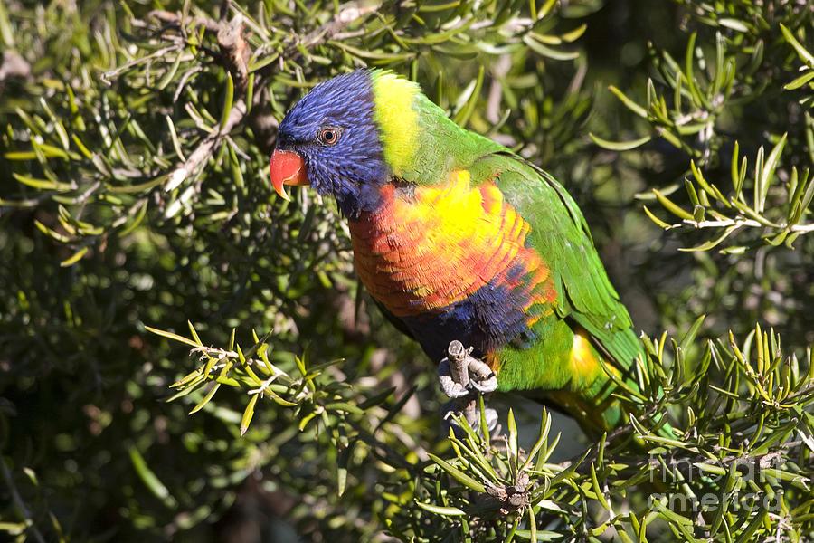 Australia Photograph - Rainbow Lorikeet by Steven Ralser