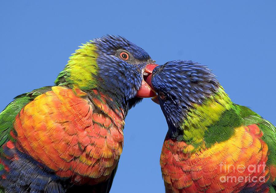 Lorikeet Photograph - Rainbow Lorikeets by Steven Ralser