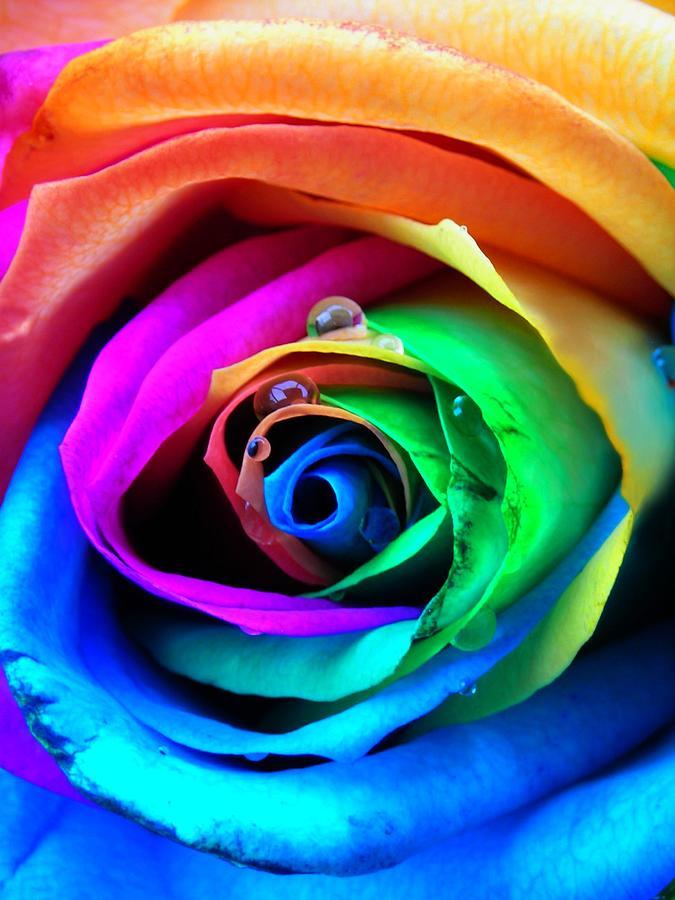 Rainbow Photograph - Rainbow Rose by Juergen Weiss