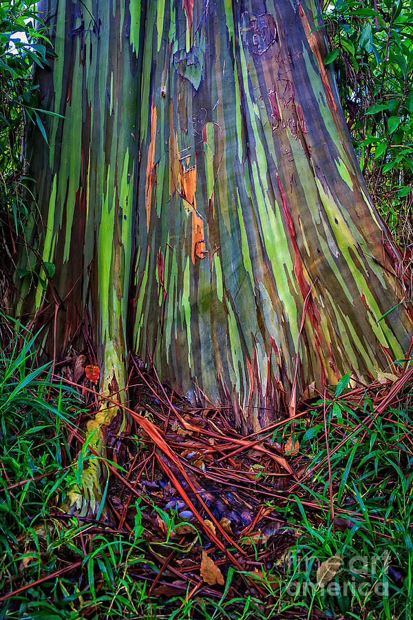 Rainbow Photograph - Rainbow Trees of Maui Hawaii by Edward Fielding