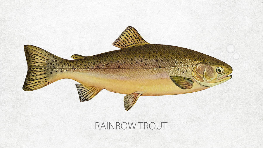 Rainbow Trout Drawing - Rainbow Trout by Aged Pixel