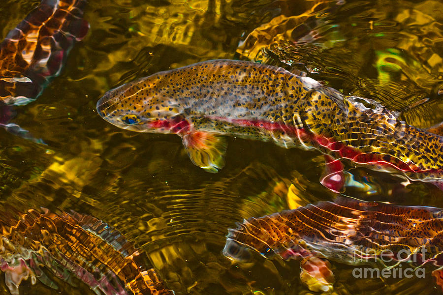 Trout Photograph - Rainbow Trout by Cari Gesch