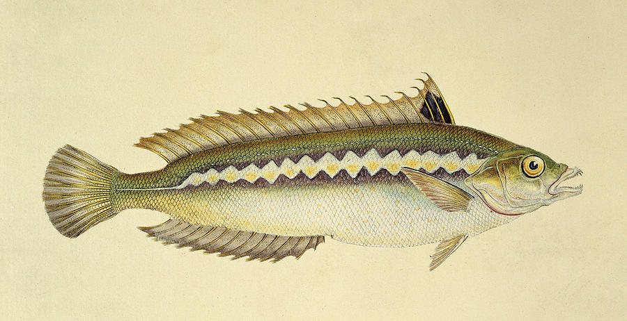 Fish Drawing - Rainbow Wrasse by E Donovan and FC and J Rivington