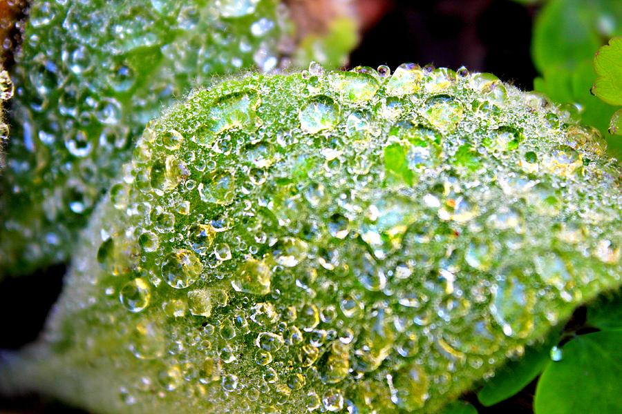 Raindrops Photograph - Lambs Ear Raindrops by Candice Trimble