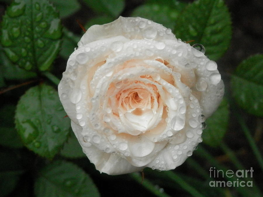 Raindrops Photograph - Raindrops And Roses by Margaret McDermott