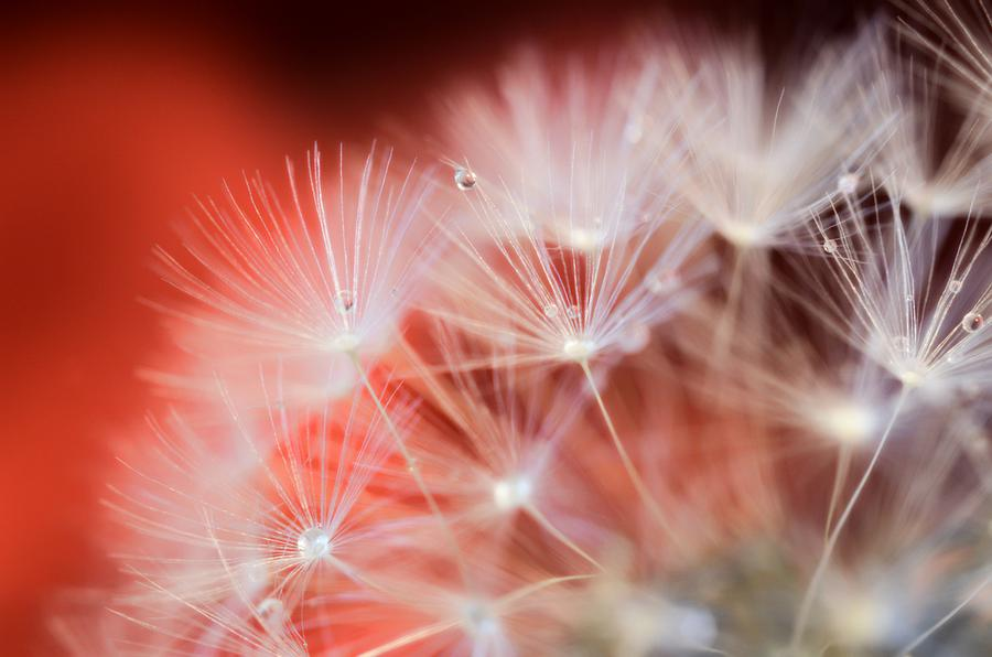 Raindrops Photograph - Raindrops On Dandelion Red by Marianna Mills