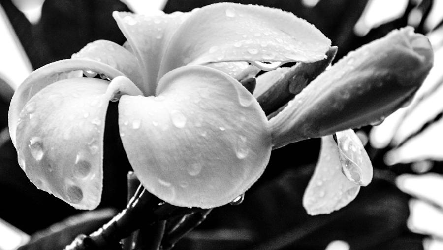Oahu Photograph - Raindrops On Plumeria by Lisa Cortez