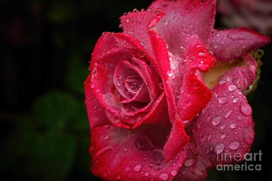 Rose Photograph - Raindrops On Roses by Peggy Hughes