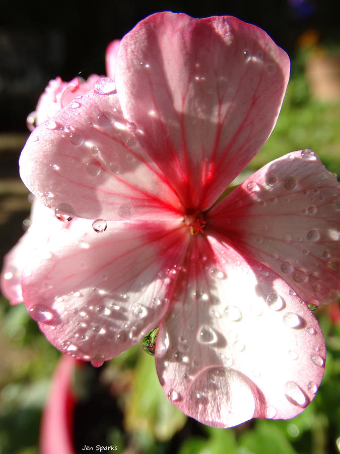Flower Photograph - Rained On by Jen Sparks