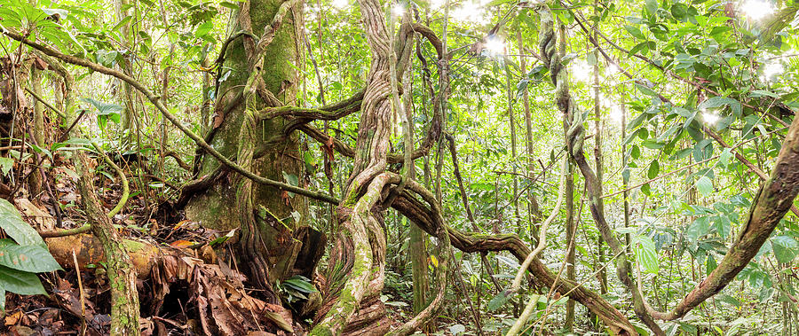 Amazon Photograph - Rainforest Lianas by Dr Morley Read