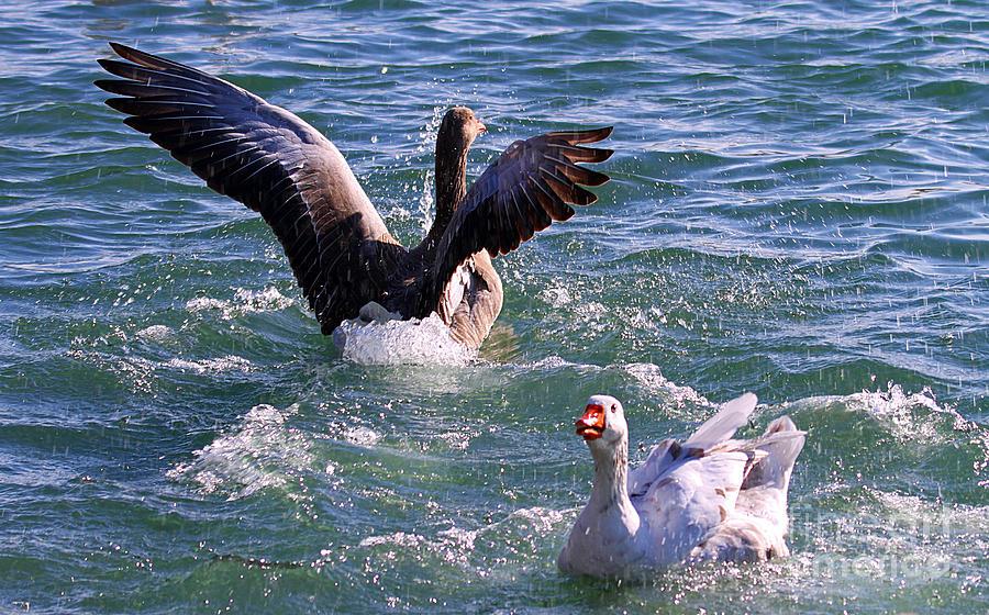 Canada Goose Photograph - Raining by Elizabeth Winter