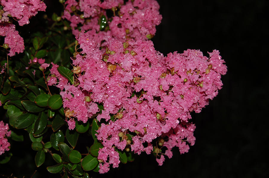 Crepe Myrtle Photograph - Rainy Day Blooms by Suzanne Gaff
