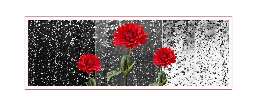 Dahlia Photograph - Rainy Day Dahlias by Natalie Kinnear