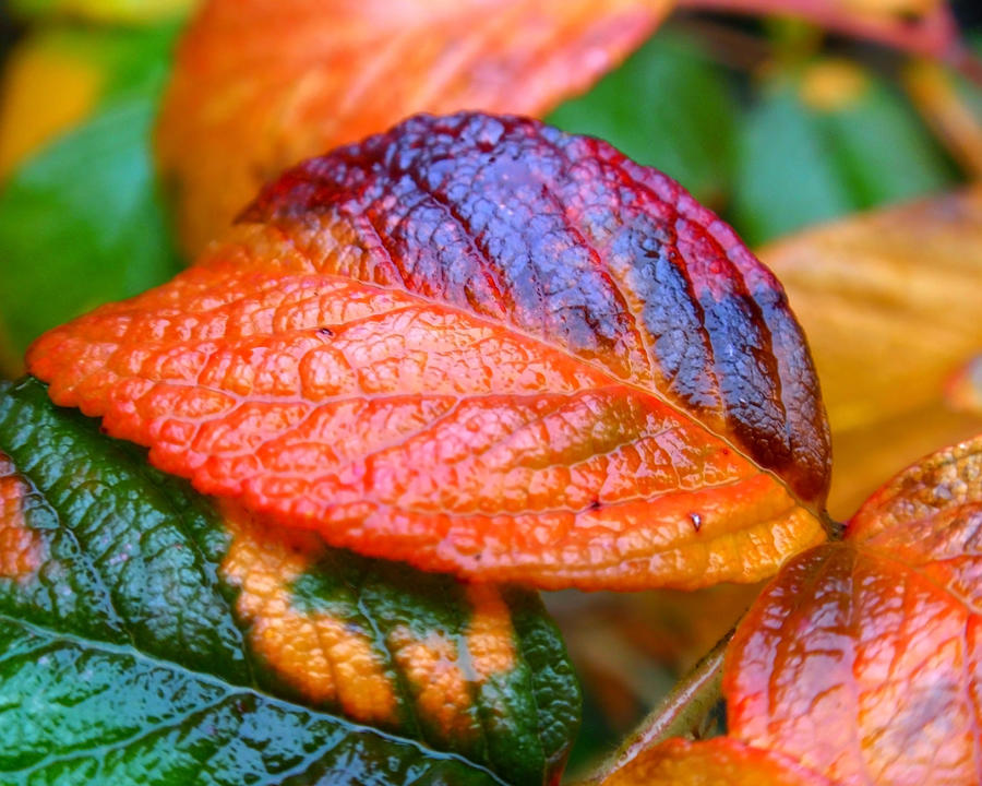 Leaf Photograph - Rainy Day Leaves by Rona Black