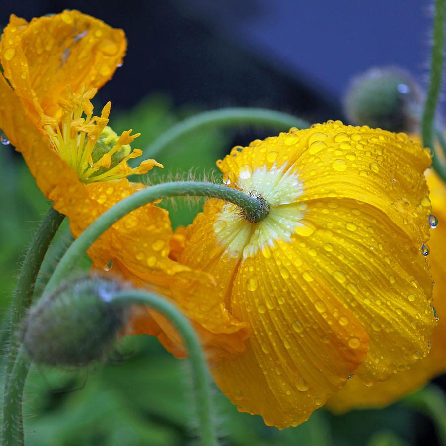 Rainy Day Series Yellow Poppies Photograph By Suzanne Gaff
