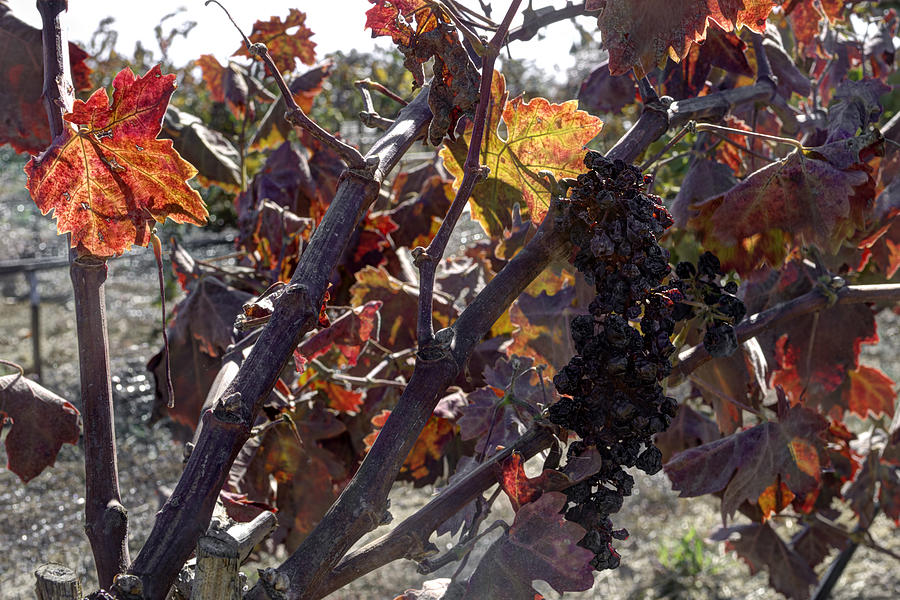 Grapes Photograph - Raisins by Mike Herdering