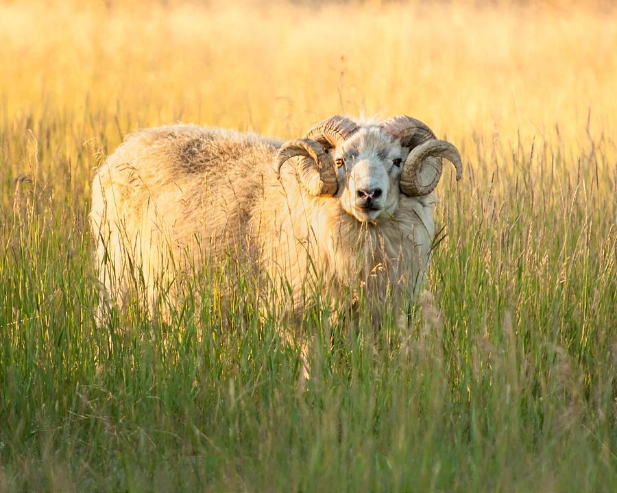 Sheep Photograph - Ram Curls by Joan Herwig