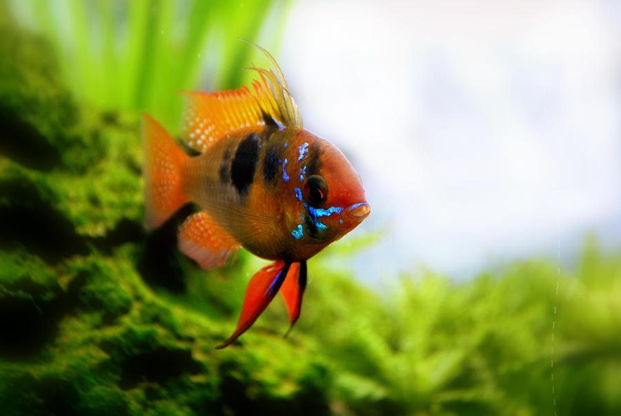 Fish Photograph - Ram Fish by Nathan Abbott