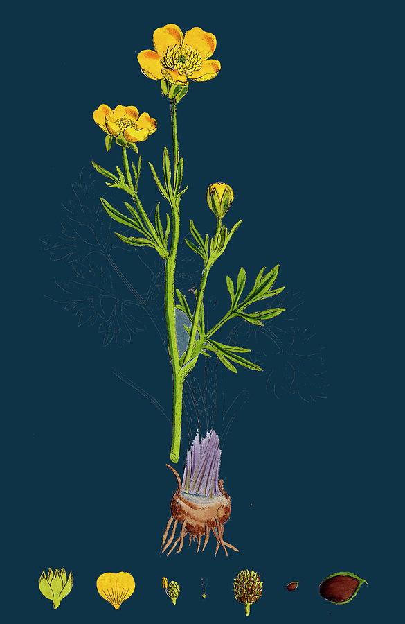 19th Century Drawing - Ranunculus Bulbosus Bulbous Crowfoot by English School
