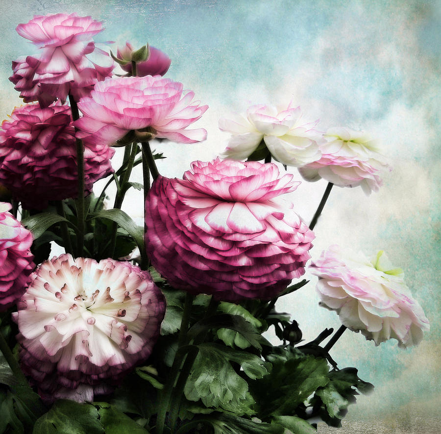 Flowers Photograph - Ranunculus In Bloom by Jessica Jenney