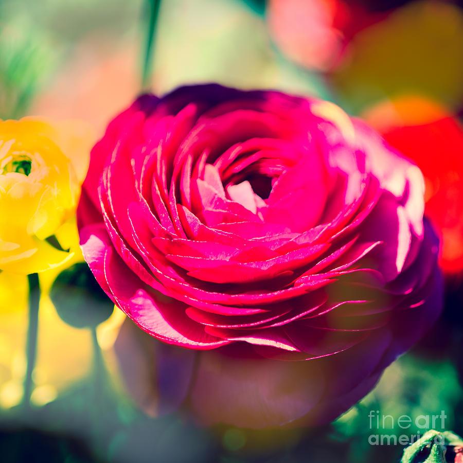 Flower Photograph - Ranunculus Squared by Sonja Quintero