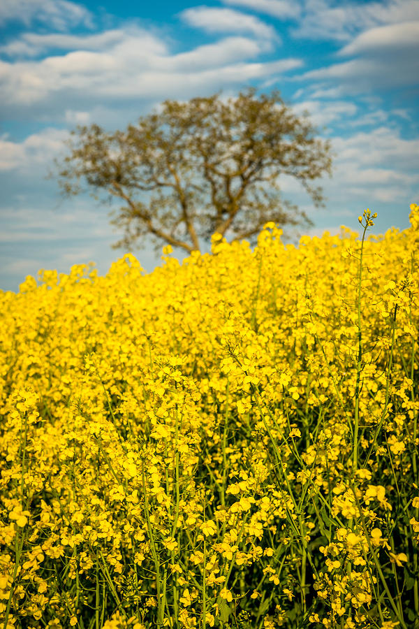 Canola Photograph - Raps Rapeseeds Flowers by George Lim