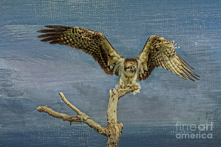 Osprey Photograph - Raptor Display by Deborah Benoit