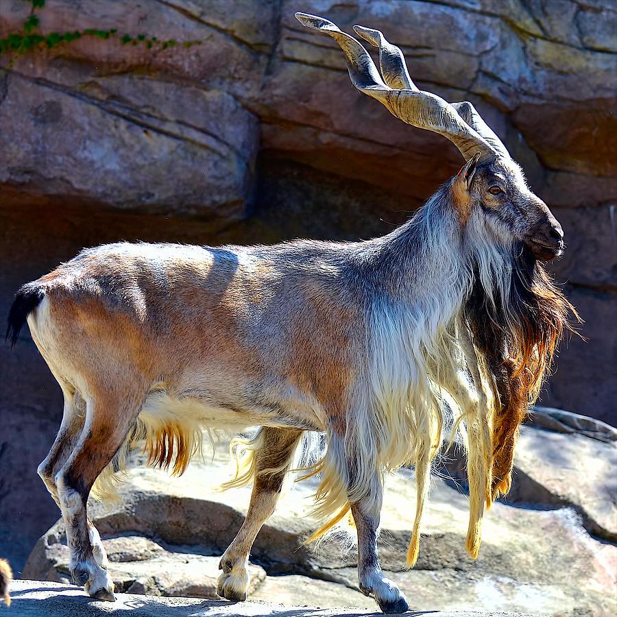 Turkomen Markhor   San Diego Zoo Institute for