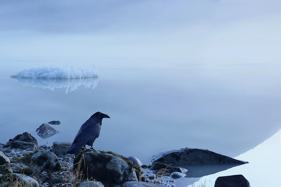Raven And Iceberg Photograph by Dagny Willis