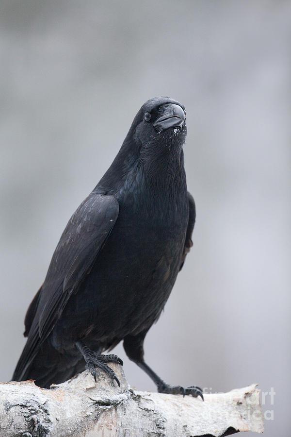 Corvus Corax Photograph - Raven On A Birch Log by Tim Grams