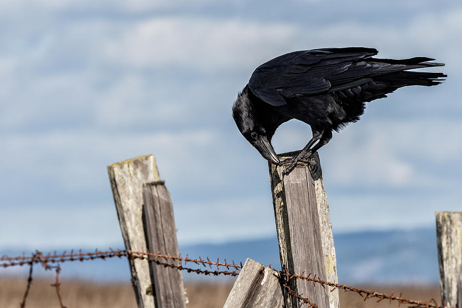 Image result for images of a raven on a fence