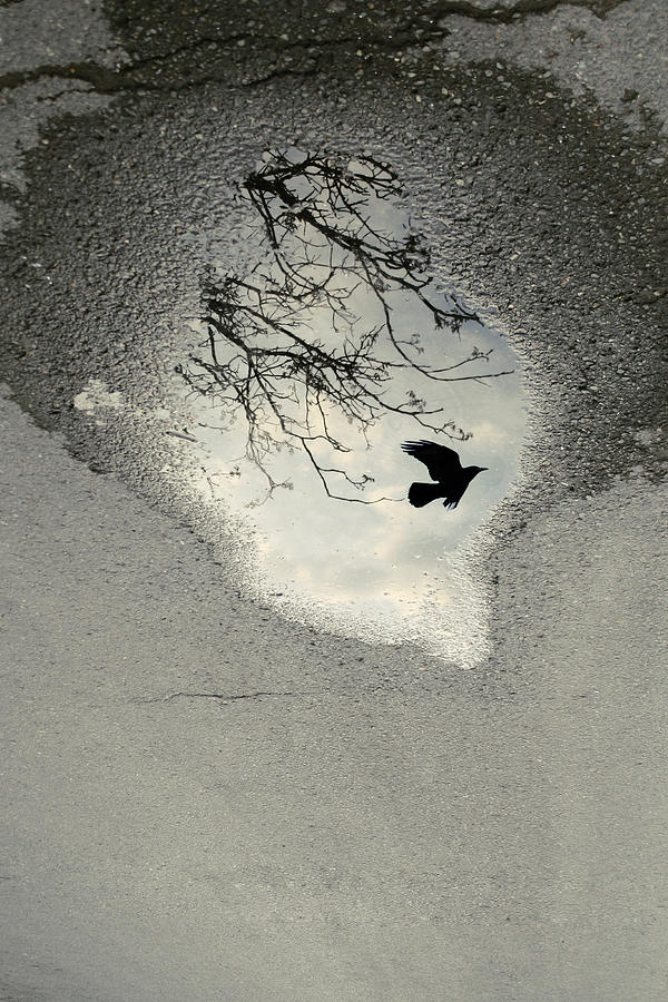 Crow Photograph - Raven reflection by Cambion Art