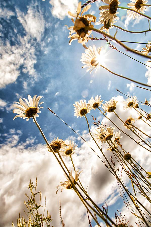 Daisy Photograph - Reach for the Sky by Brian Boudreau