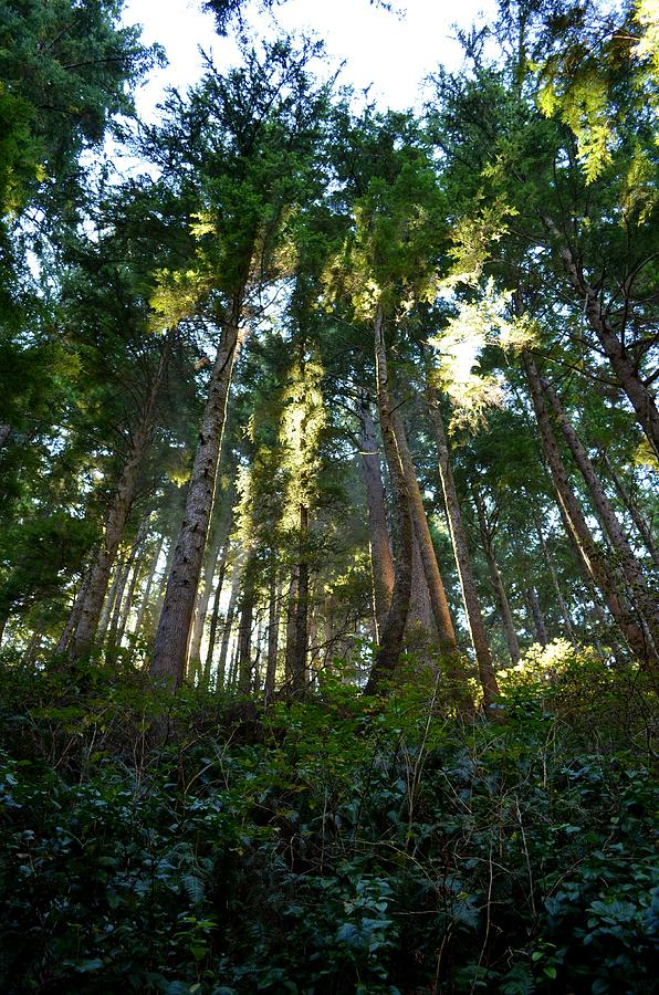Old Growth Photograph - Reach For The Sky by Laureen Murtha Menzl
