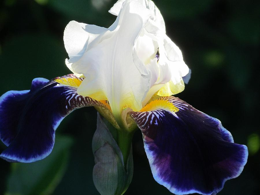 Iris Photograph - Reach For The Sun by Peggy Bosse