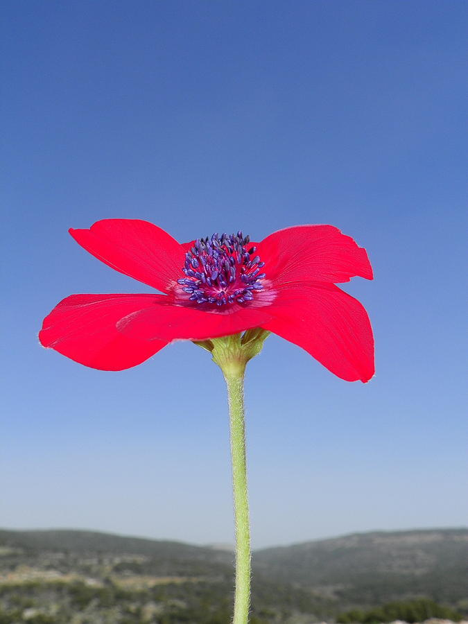 Red Flower Photograph - Reaching The Sky by Noreen HaCohen