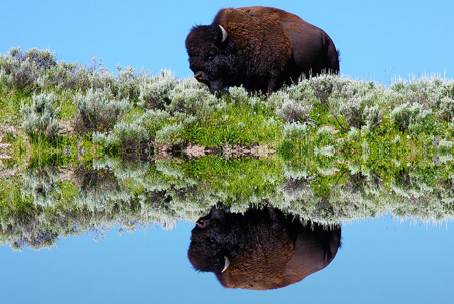 Buffalo Photograph - Ready For A Drink by Shane Bechler
