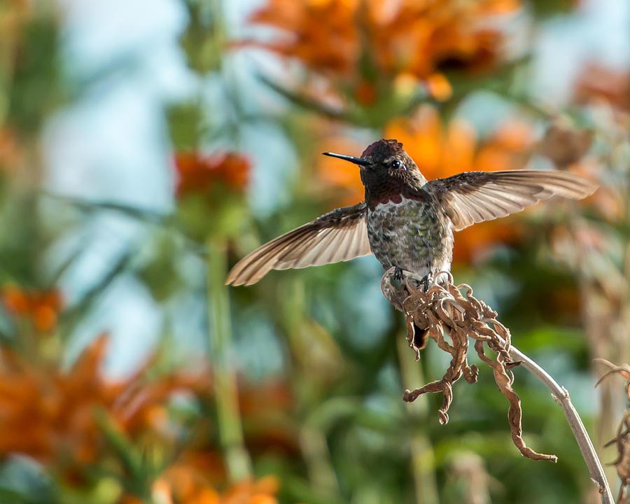 Hummingbird Photograph - Ready To Fly by Paul Johnson